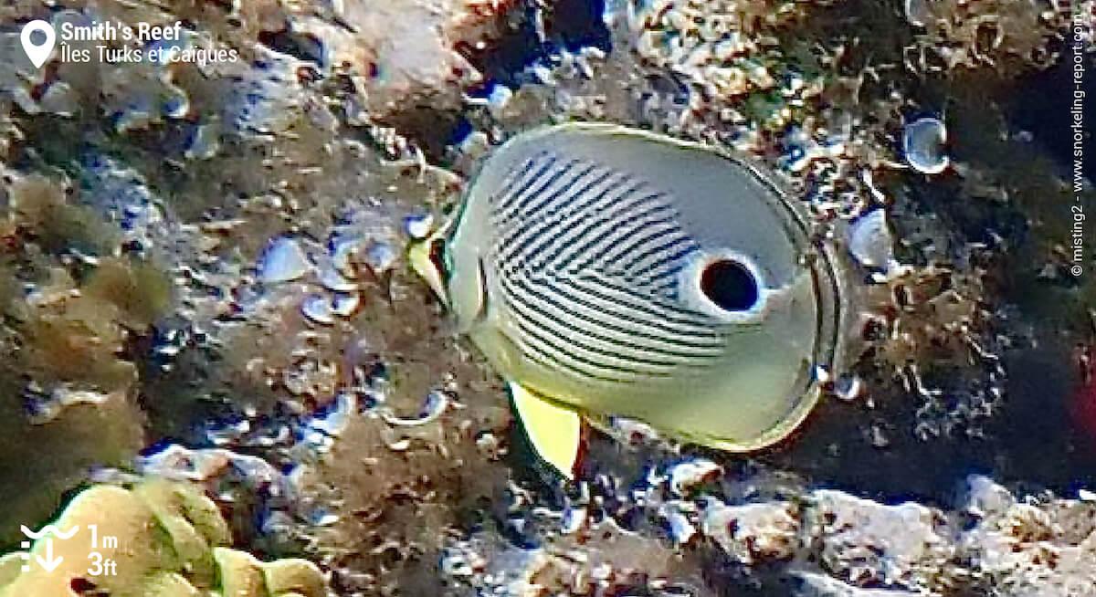 Poisson-papillon à quatre yeux à Smith's Reef