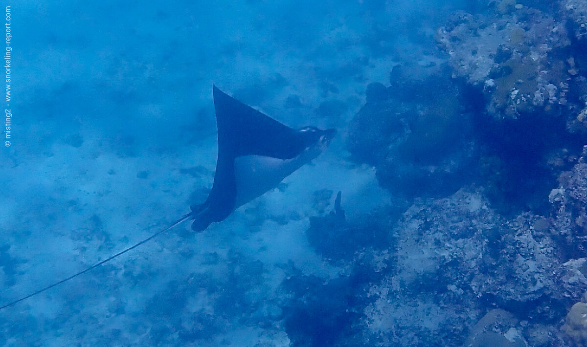Spotted eagle ray at Smith's Reef
