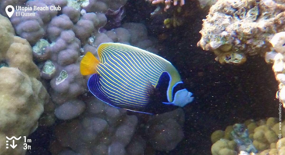 Emperor angelfish at Utopia Beach Club