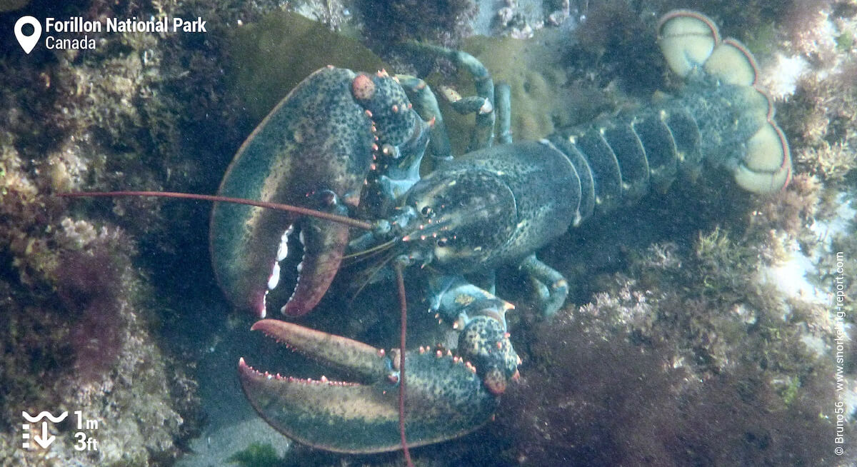 Lobster in Forillon National Park