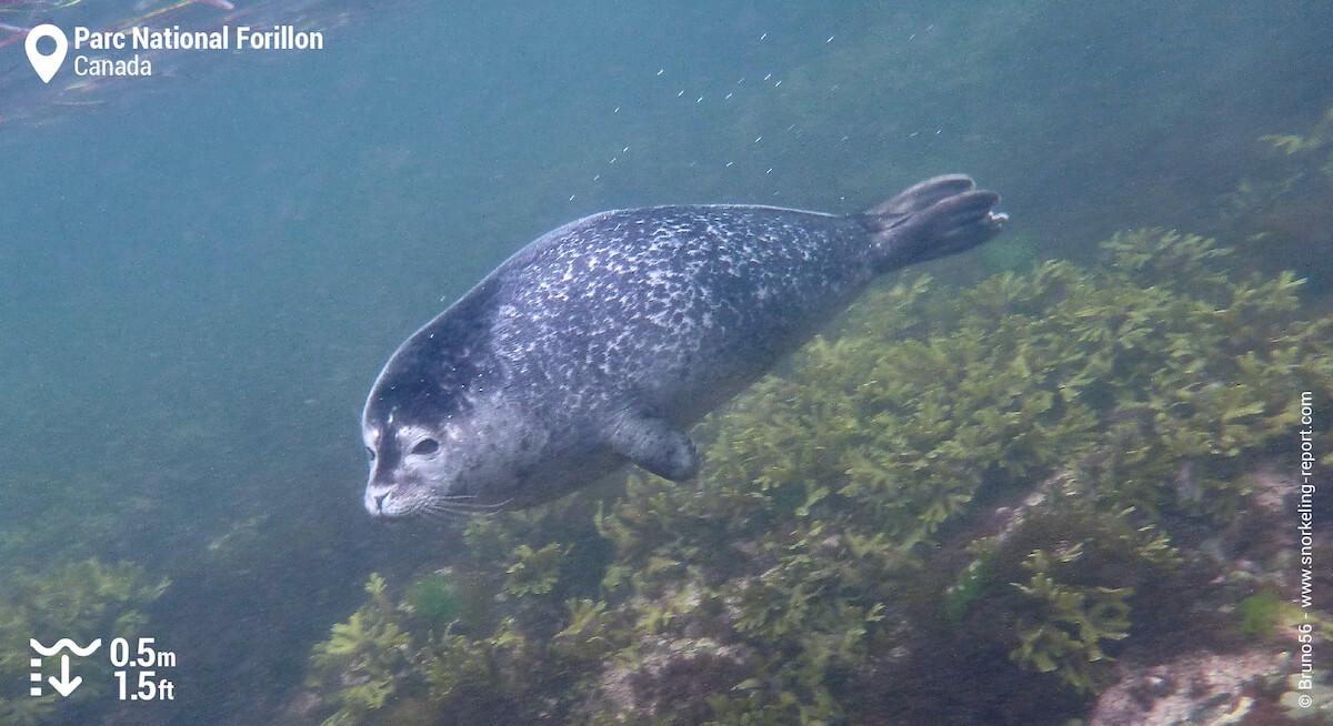 Phoque commun au Parc National Forillon