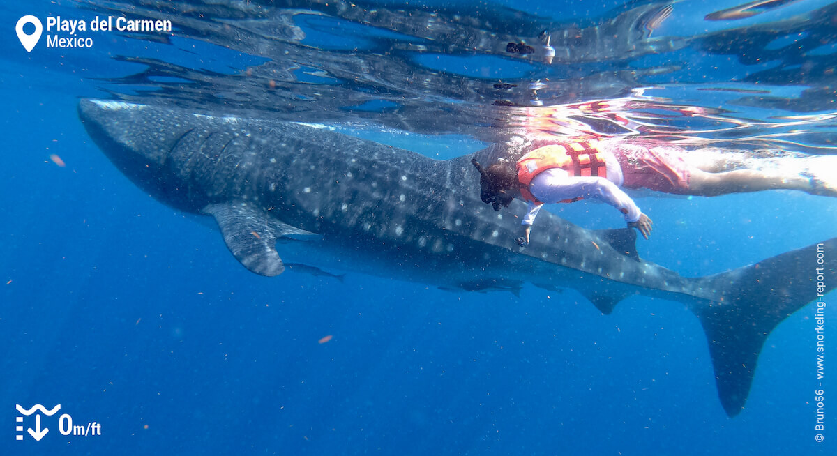 Snorkeler with a whale shark in Cancun