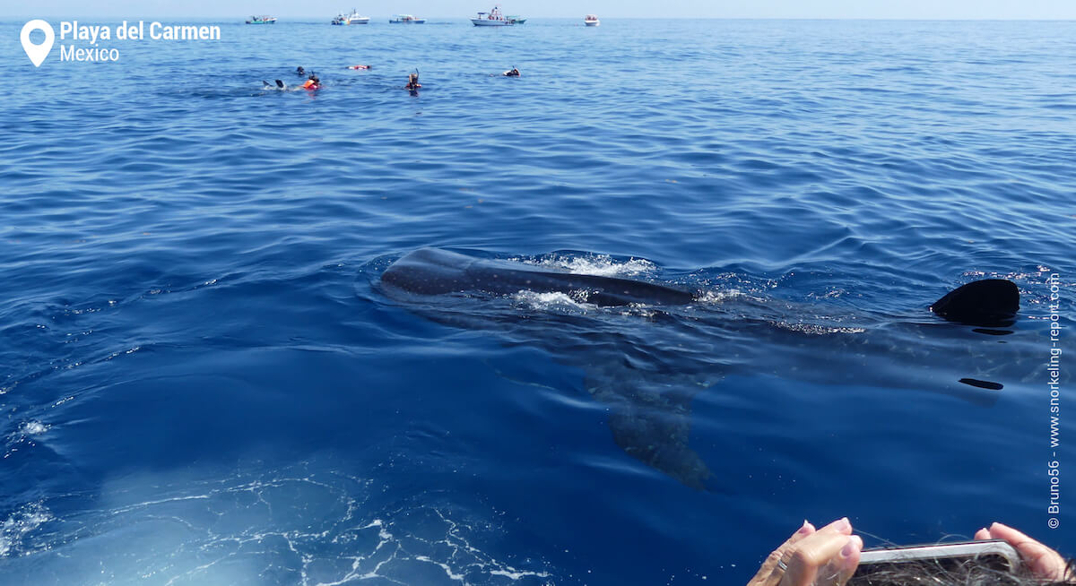 A whale shark seen at the surface from a boat in Mexico