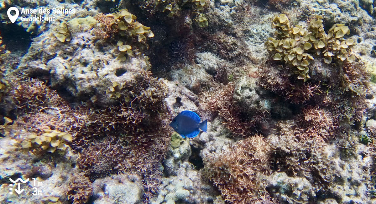 Chirurgien bleu dans le lagon de l'Anse des Salines