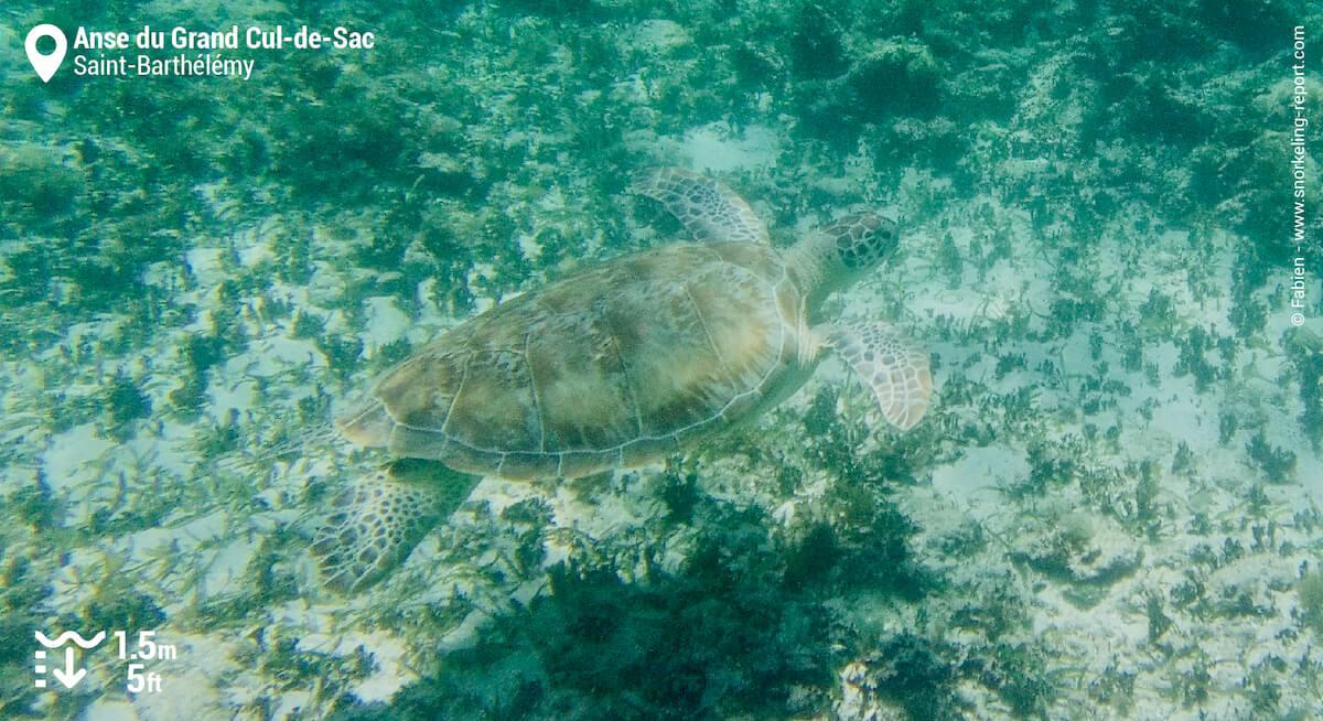 Green sea turtle at Anse du Grand Cul-de-Sac