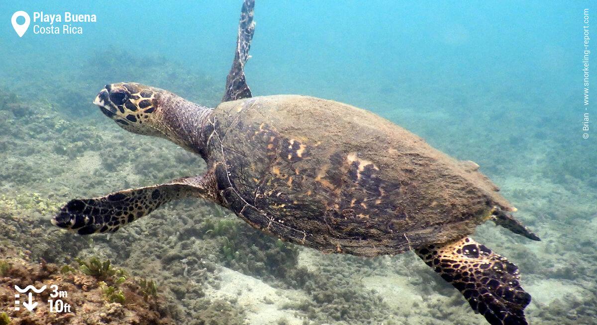 Hawksbill sea turtle in Playa Buena