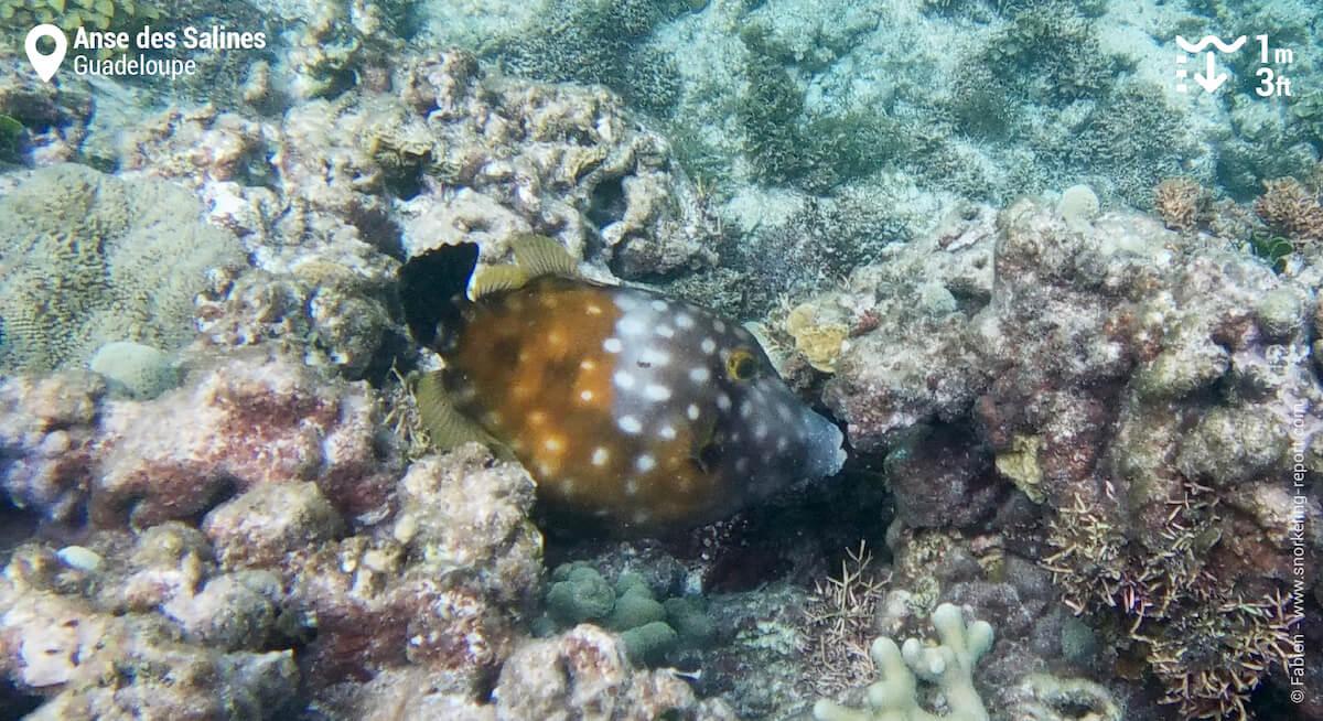 Poisson-lime à l'Anse des Salines