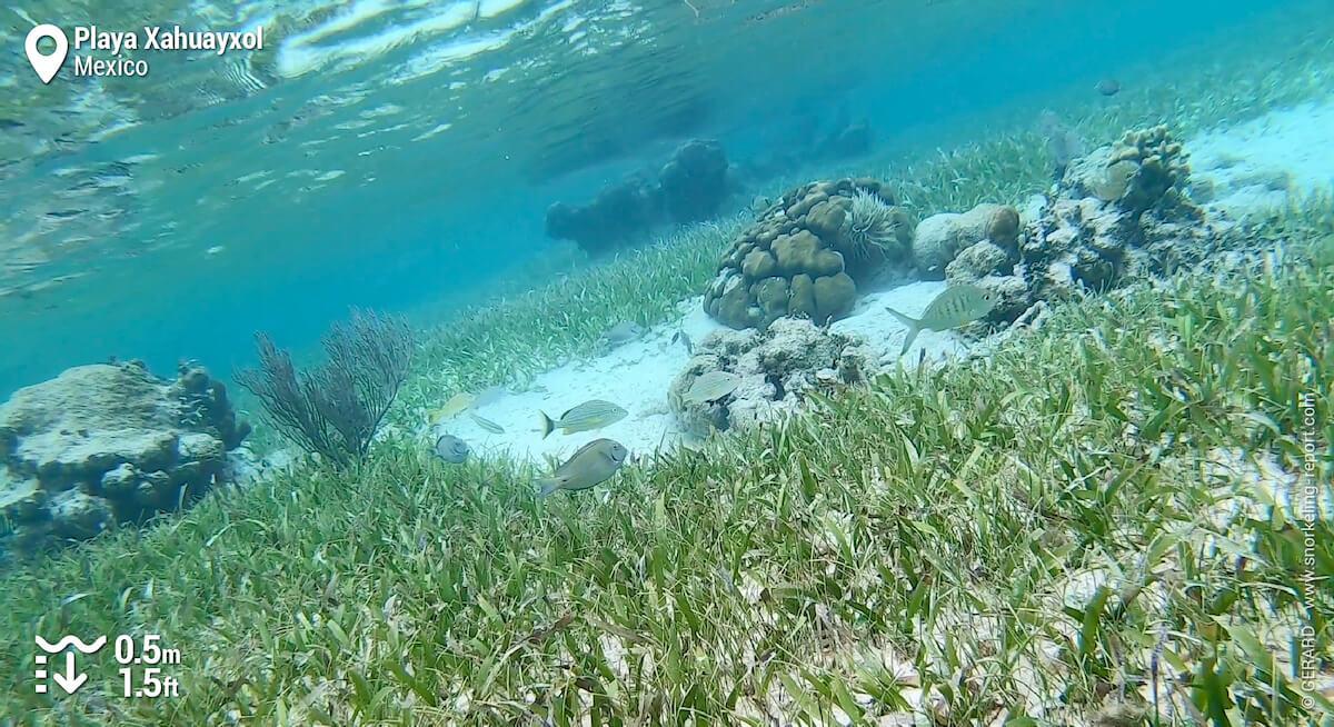 Reef fish above Playa Xahuayxol seagrass beds