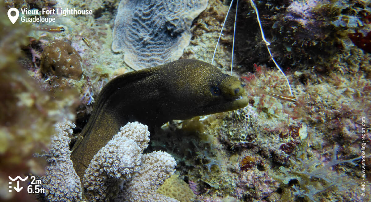 Goldentail moray in Guadeloupe