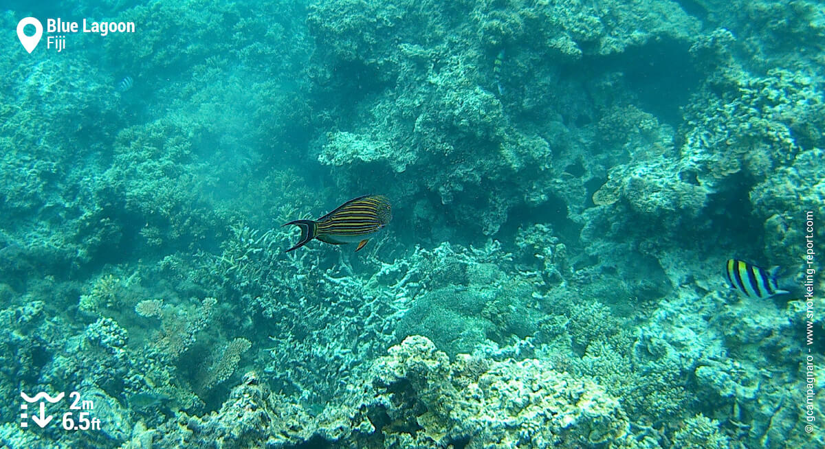 Lined surgeonfish at the Blue Lagoon
