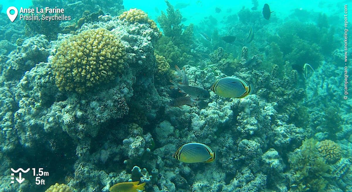 Melon butterflyfish at Anse La Farine