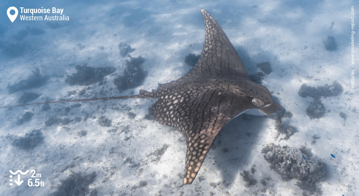 Ornate eagle ray at Turquoise Bay