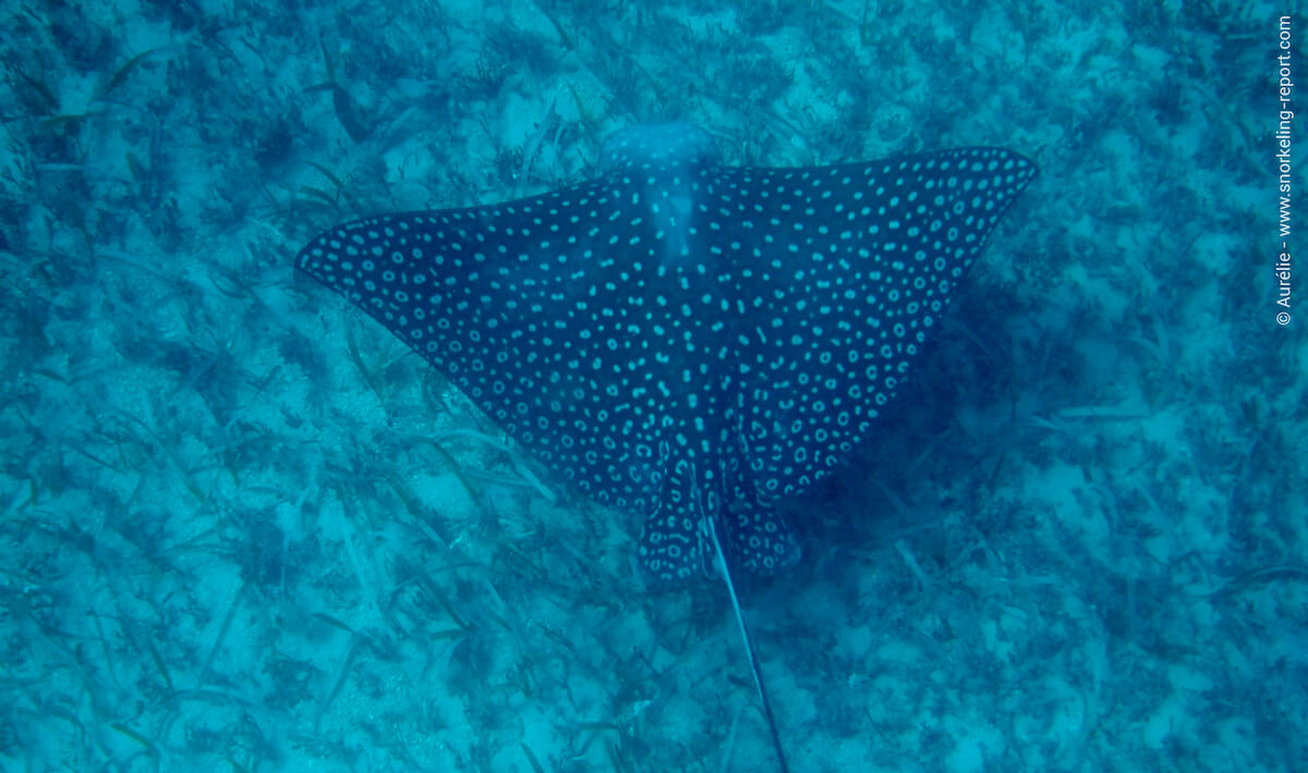 Spotted eagle ray in Tintamarre Island, St Martin