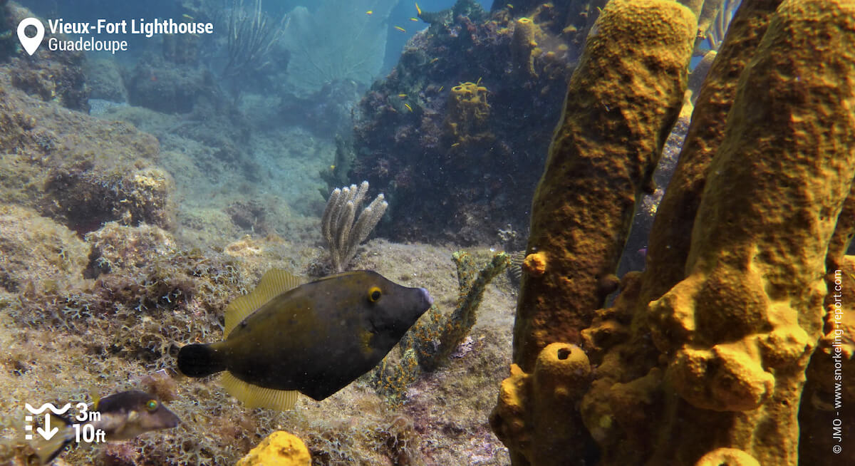 Whitespotted filefish and yellow sponges