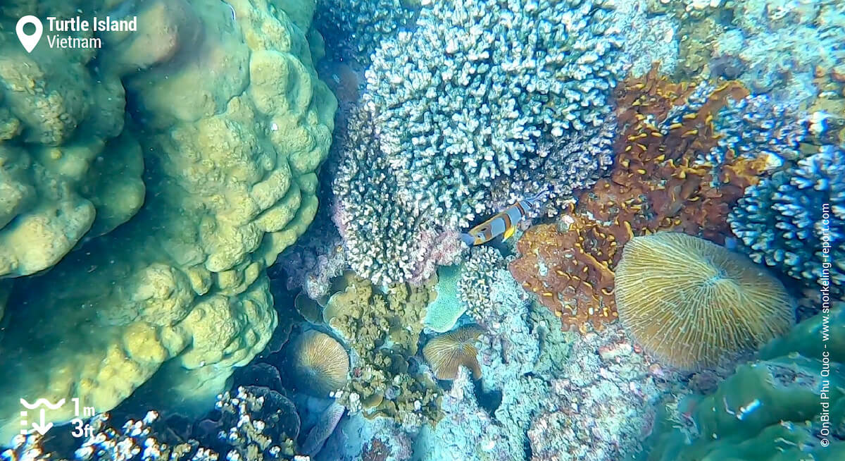 Cooperband butterflyfish above coral reef