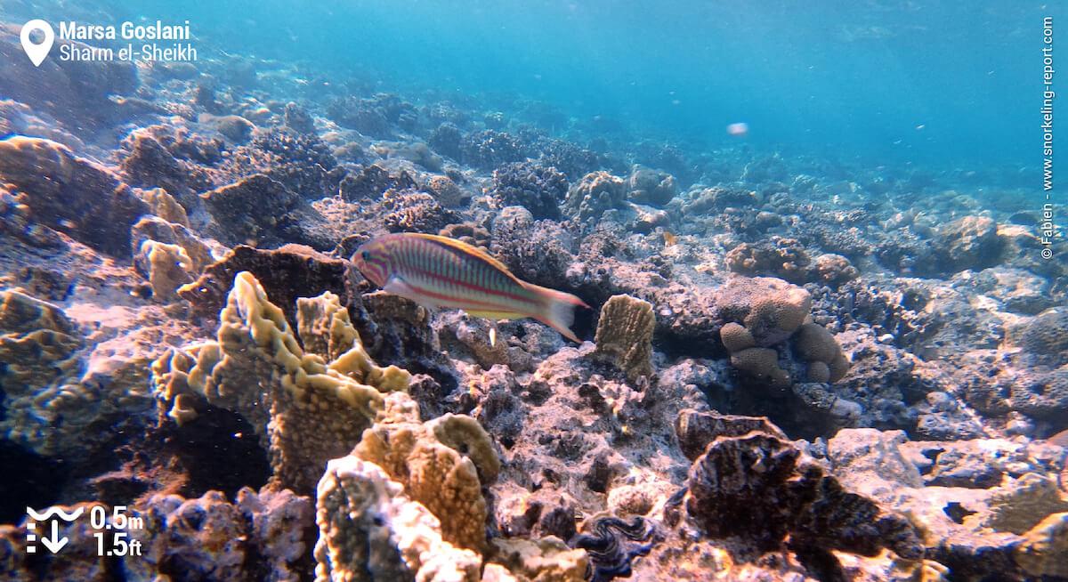 Klunzinger's wrasse on Marsa Goslani reef flat