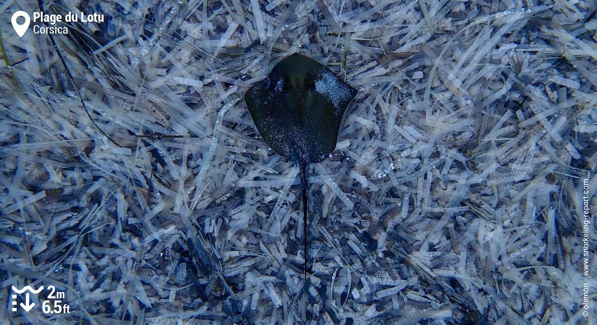 Pelagic stingray in northern Corsica