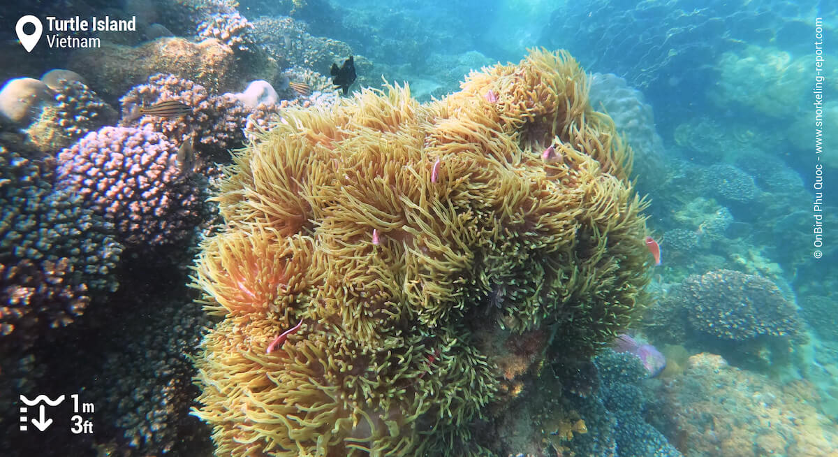 Pink skunk clownfish family in a sea anemone in Vietnam