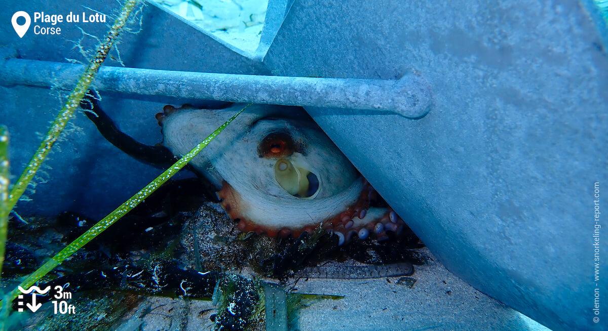 Un poulpe caché sous une ancre en Corse