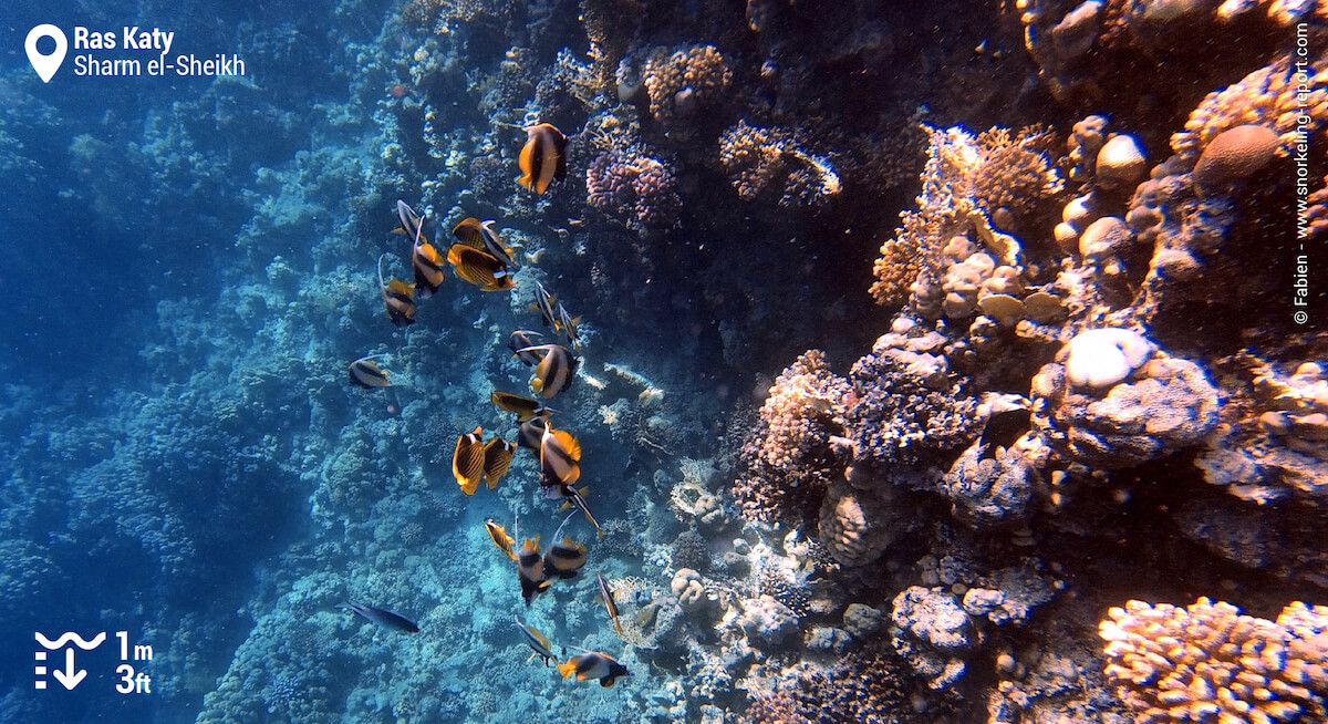 Red sea bannerfish along the drop off