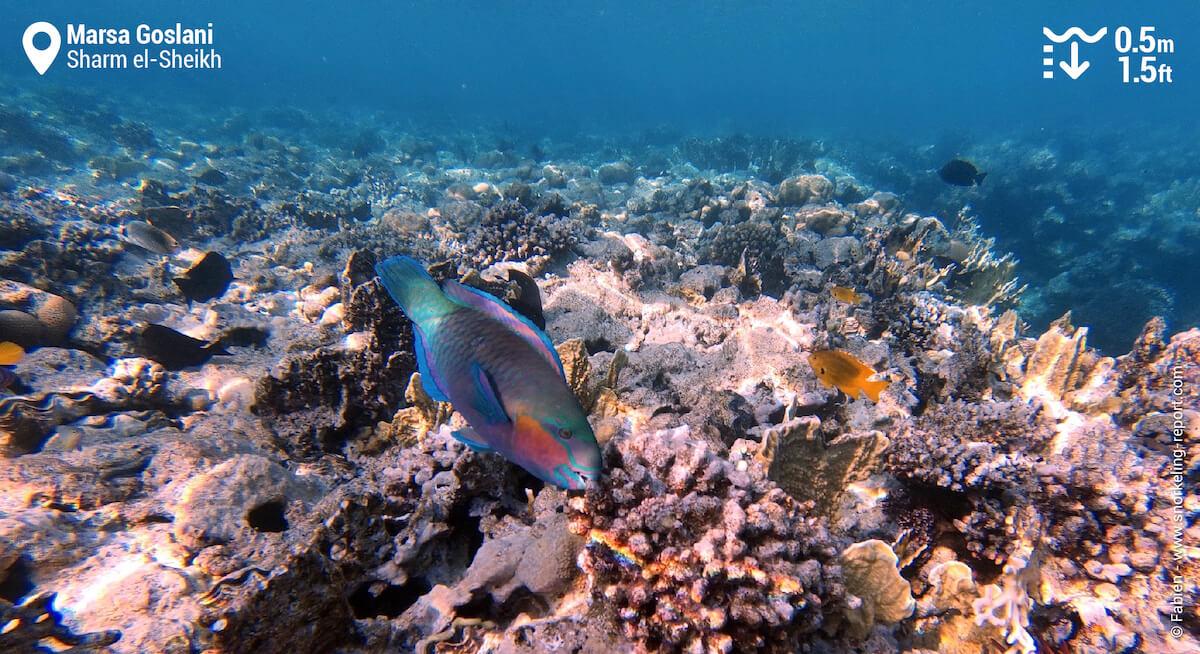 Rusty parrotfish in Marsa Goslani