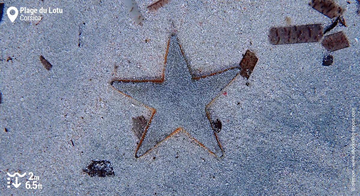 Sand sea star in Corsica