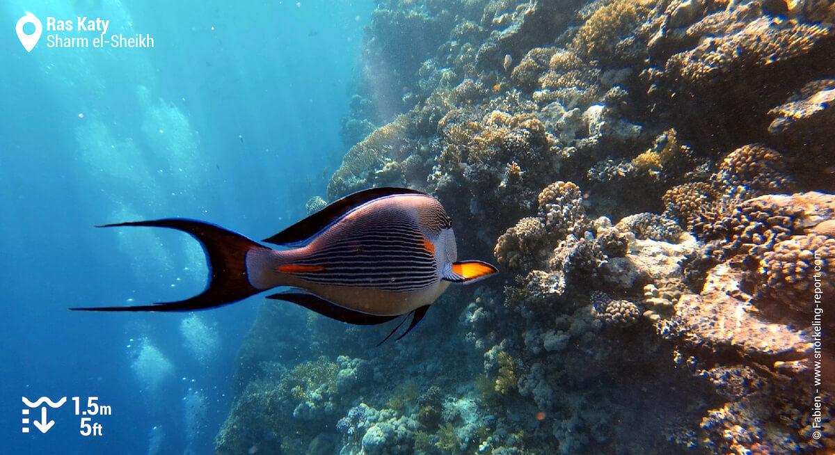 Sohal surgeonfish in Ras Katy