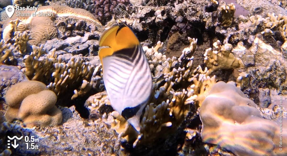 Threadfin butterflyfish in Ras Katy